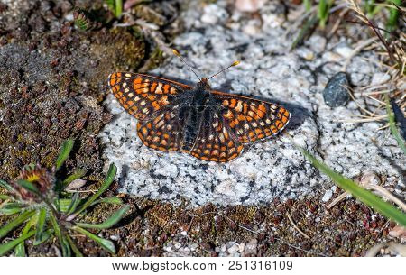 A Pretty Ediths Checkerspot Butterfly In The High Alpine Tundra In Colorado