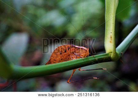 Katydid Mimicking A Leaf In Las Quebradas, Costa Rica