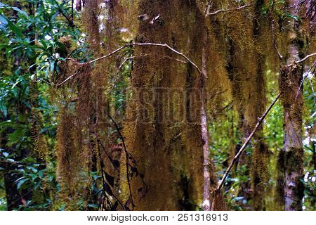 Tillandsia Usneoides Spanish Moss In Cloud Forest, Costa Rica