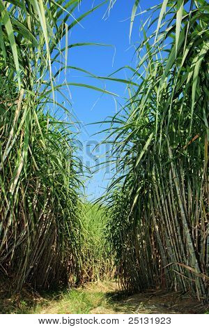 Field of sugar cane