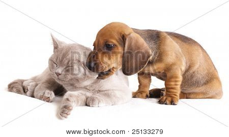 British kitten rare color (lilac) and puppy red dachshund