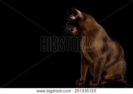 Amazing Brown Cat sitting and Hisses on isolated black background, side view poster