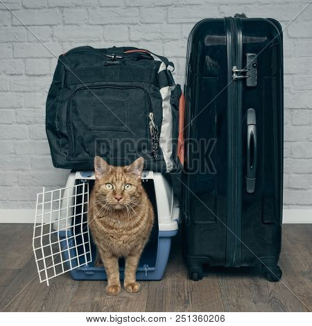 Traveling with a cat - ginger cat looking anxiously from a pet carrier next to a suitcase. - square format. poster