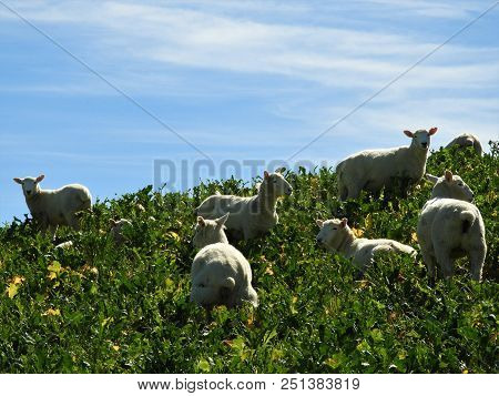 Sheep Are Grazing On The Top Of The Hill
