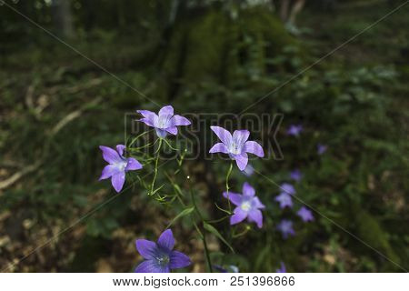 Incredibly Beautiful Purple Flowers - Bells In The Forest Along The Way To The Kozya Stena Hut. The