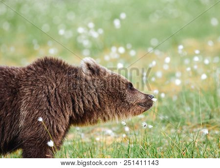 Brown bear smelling flower on a Finnish swamp in Eastern Finland on summer evening. poster
