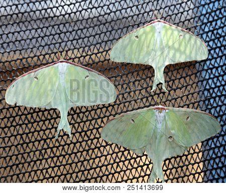 Luna Moth. Actias luna, the luna moth , is a lime-green, Nearctic Saturniid moth, in the family Saturniidae, subfamily Saturniinae.