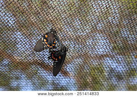 Butterfly's mating. Butterflies having sex. Butterfly honey moon.
