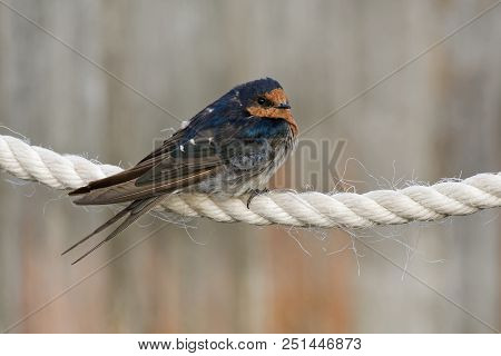 Welcome Swallow - Hirundo Neoxena - In Maori Warou, Species Native To Australia And Nearby Islands,