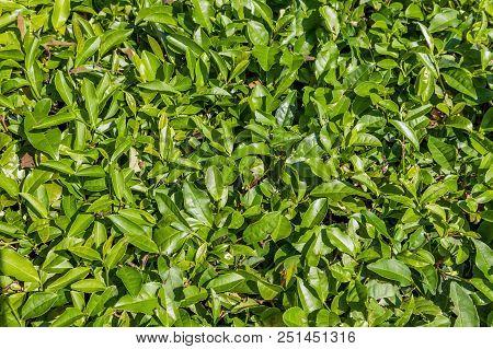 Leaves Of Tea On The Plantation. Near Sochi, Russia. The Photo Shows A Tea Plantation In Dagomys (th