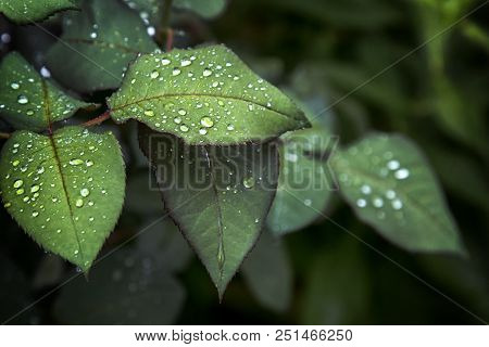 Fresh Green Leaf Leaf Sheet, Rain Falls On Leaves. After Rain Autumn Sadness Rose Leaves