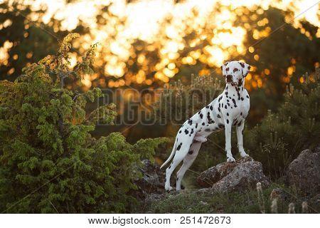 Beautiful Dog Breed Dalmatian On Sunset Background Portrait