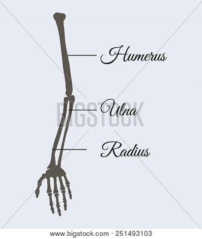 Arm Parts Poster With Explanation In Beautiful Font, Human Body Piece Made Of Bones, Humerus And Uln