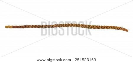 Dry Araucaria Excelsa, Norfolk Island Pine Leaves Isolated On White Background With Clipping Path