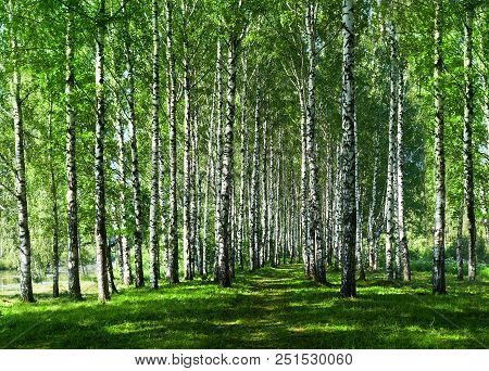 Summer Nature, Scenery. Birches In Alley Park