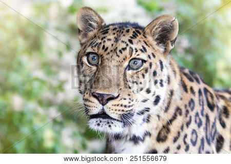 Young adult Amur Leopard. A species of leopard indigenous to southeastern Russia and northeast China, and listed as Critically Endangered