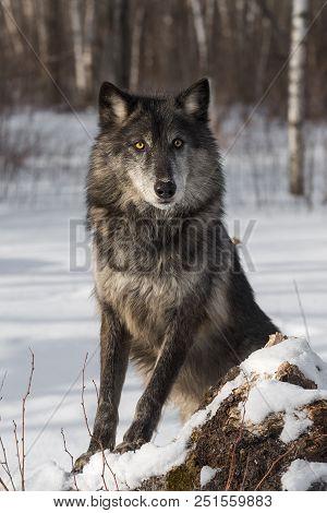 Black Phase Grey Wolf (canis Lupus) Poses - Captive Animal