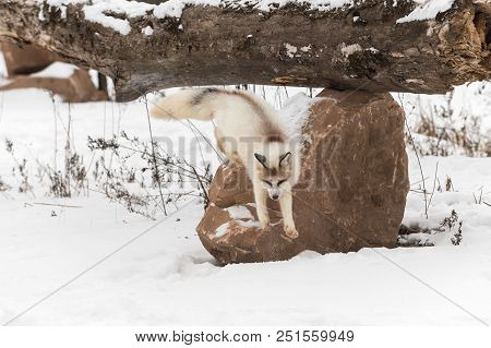 Red Marble Fox (vulpes Vulpes) Jumps Down Off Rock - Captive Animal