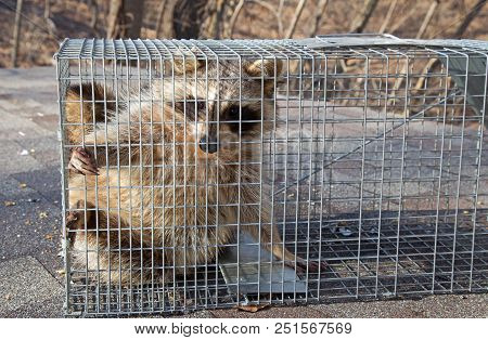 Raccoon, Procyon Lotor, Caught In An Animal Trap