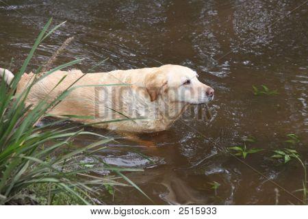 Golden Labrador Leaving A River