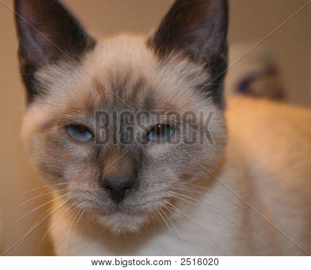 Blue Eyed Frank The Cat