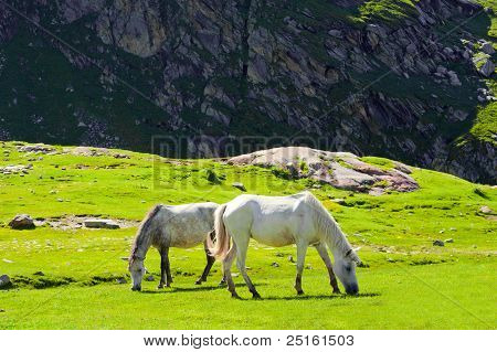 Wild horses on meadow in Himalaya mountains poster