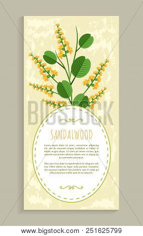 Sandalwood Poster With Herb, Banner And Headline, Aromatic Flower And Leaves, Vector Illustration Po