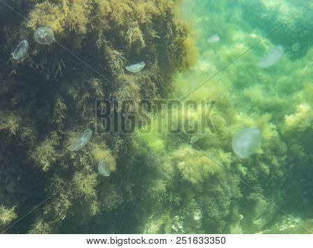 Underwater Panorama View Of Many Sea Jellyfish Swin Near Green Seaweed