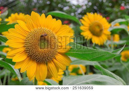 Bee On Sunflower In My Garden , Thailand
