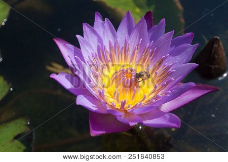 Purple Lotus Flower With Bee Close Up.