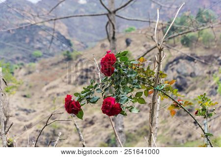 Thorny Branch Of A Red Rose On Blurred Colorful Background.