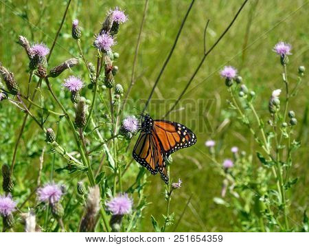 Butterfly Monarch Sitting On The Flower In The Field