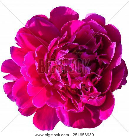 Blooming Red Peony Isolated On White Background-isolated