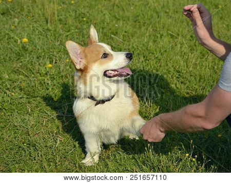 Puppy Corgi Pembroke On A Walk. Young Energetic Dog On A Walk. Puppies Education, Cynology, Intensiv