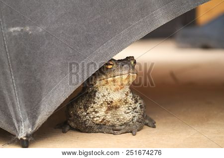 The Toad Is Under The Old Umbrella. The Old Umbrella Lies On The Porch Of The House. The Toad Chose