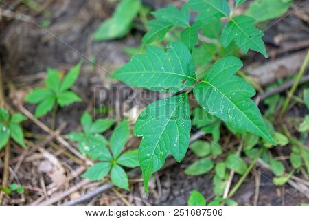 Poison Ivy Plant Among Other Woodland Plants
