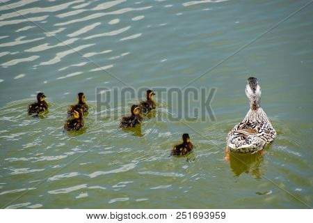 A Duck With Ducklings Is Swimming In A Pond. Ducks Swimming In The Pond. Wild Mallard Duck. Drakes A