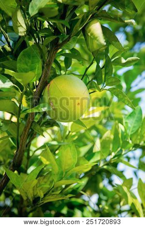 Caribbean Green Orange Hanging On The Tree. Juicy And Sweet Tropical Citrus Fruit.