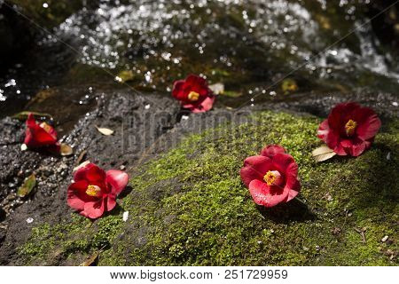 Fallen Common Camellia Flowers On A Mossy Rock In Front Of Brook