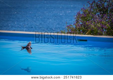 Bird, A Swallow, By Swimming Pool For Drinking Water In Greece