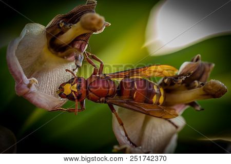 Hornet On Flower From A Banana Tree. Hornets Are The Largest Of The Eusocial Wasps.