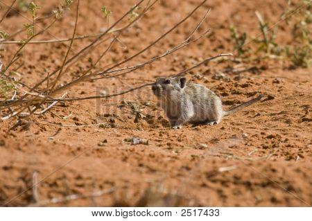 Desert Pygmy Mouse