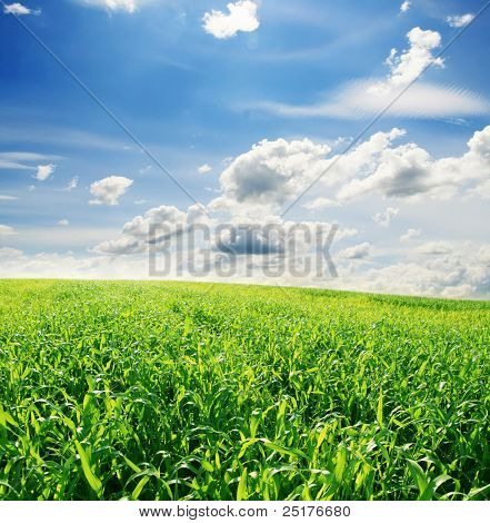 green field of young corn and cloudy blue sky