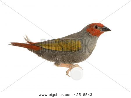 Red-headed Finch - Amadina erythrocephala in front of a white background poster