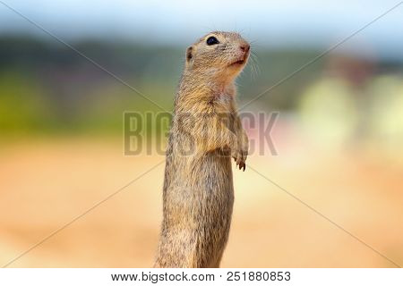 Suslik Is A Member Of The Family Of Squirrels, A Family That Includes Small Or Medium-sized Rodents.