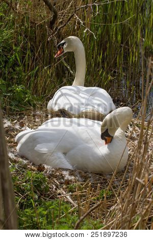 Photo Of A Pair Of Resting Mute Swans