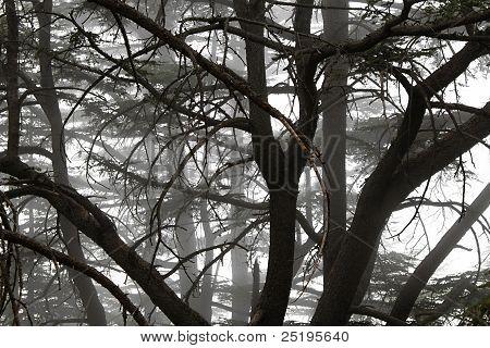 Foggy Cedar Forest