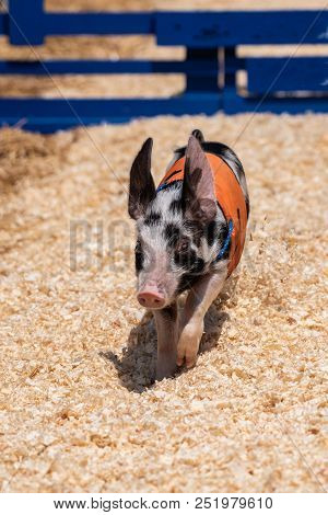 Fastest Racing Pig All Alone On Track While Heading To The Finish Line.