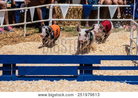Racing Pigs Kicking Up Sawdust As They Head Around Corner Toward Hurdle Obstacle.
