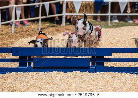 Quick And Agile Racing Pigs Jumping Over Hurdle As They Speed Toward The Finish Line.